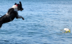 Springer Spaniel jumping after a bouy