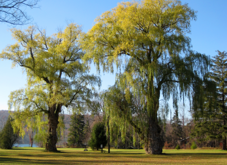 Willows in the park